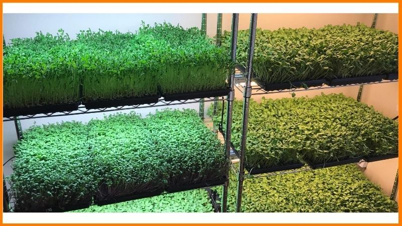 Microgreen business in India
